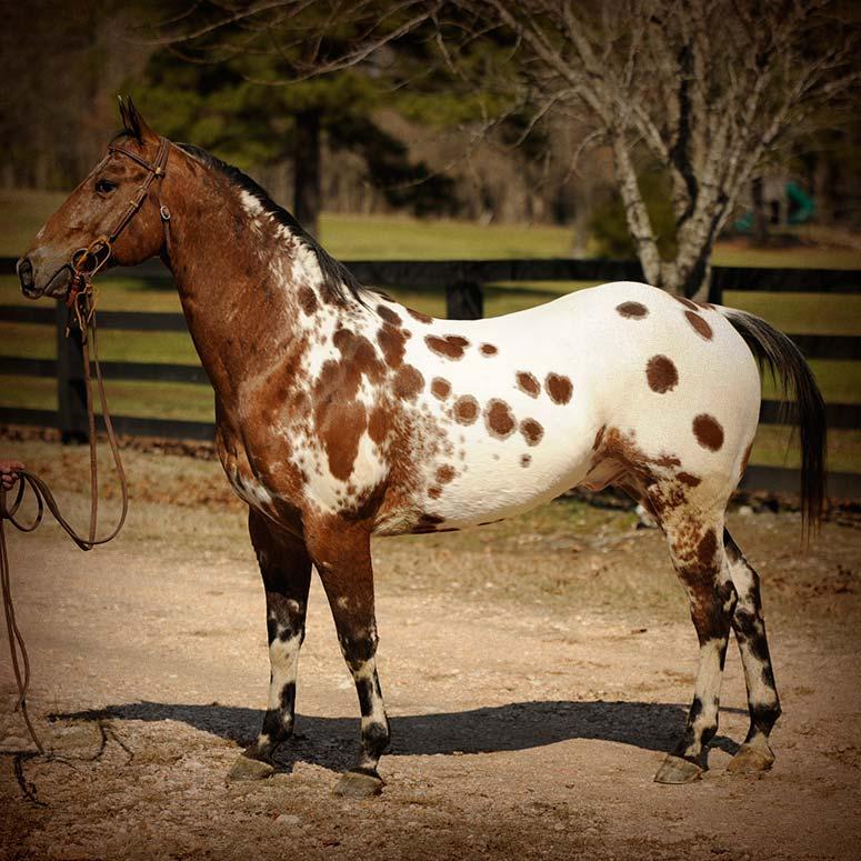 Kobes Thunder HH | Horse of My Dreams