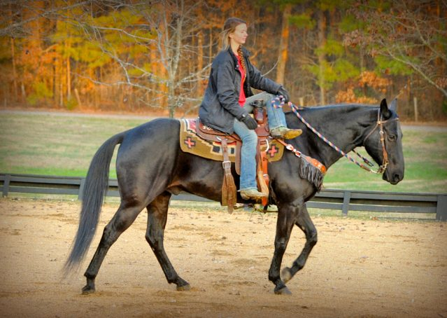 011-Cajun-Black-quarter-horse-for-sale
