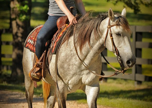 011-Casper-Grey-Quarter-Horse-Gelding-For-Sale