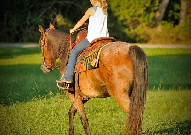 012-Jasper-Bay-Roan-Quarter-horse-gelding-for-sale