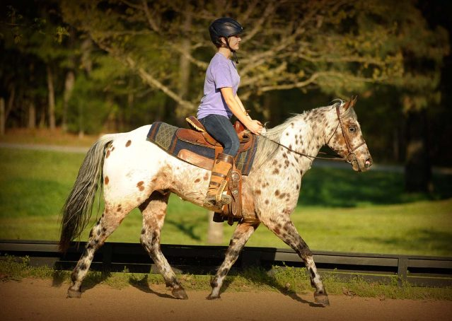 012-Shy-appaloosa-pony-for-sale