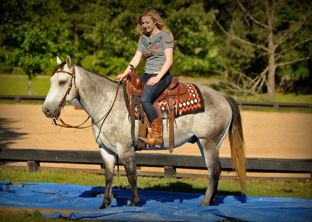 013-Casper-Grey-Quarter-Horse-Gelding-For-Sale