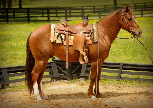 014-Jack2-Chestnut-AQHA-Gelding-For-Sale