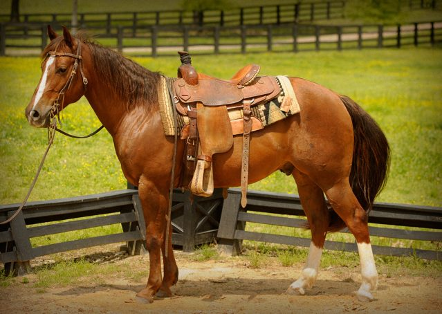 015-Jack2-Chestnut-AQHA-Gelding-For-Sale