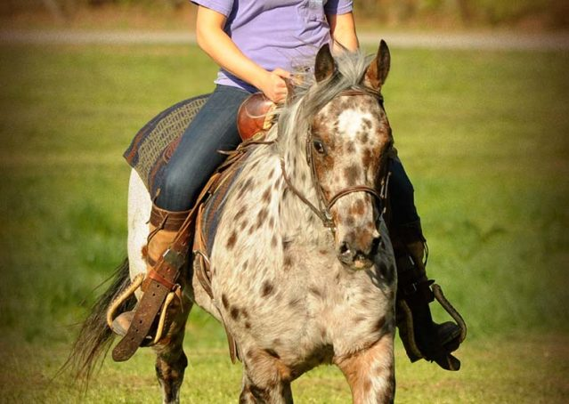 015-Shy-appaloosa-pony-for-sale