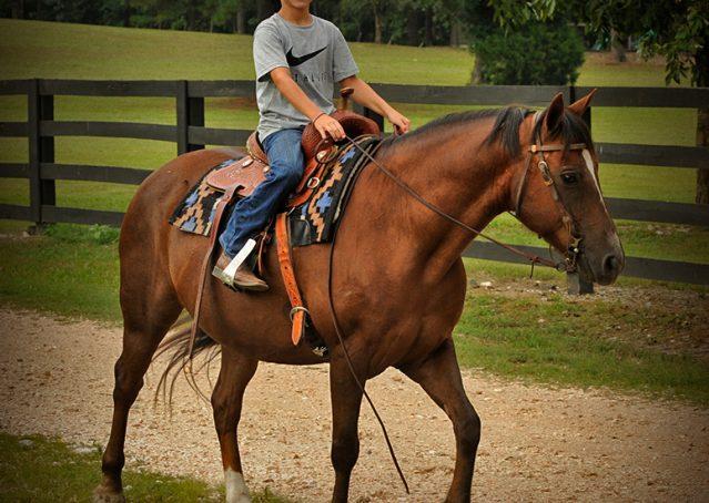 015-Stone-Bay-Quarter-Horse-Gelding-For-Sale