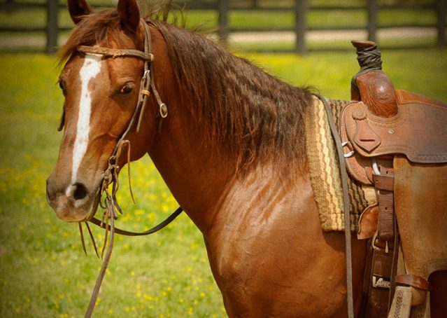 016-Jack2-Chestnut-AQHA-Gelding-For-Sale