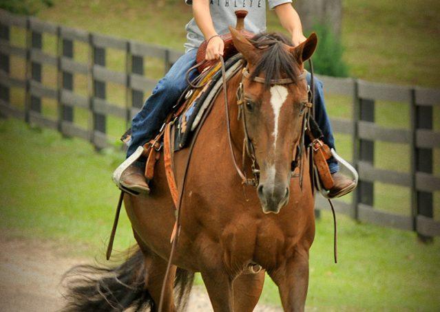 016-Stone-Bay-Quarter-Horse-Gelding-For-Sale