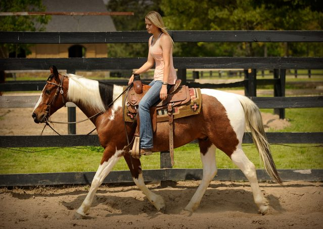 017-Rebel-APHA-Bay-Tobiano-Gelding-For-Sale
