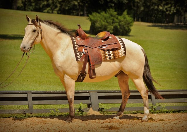 018-Dante-Buckskin-Quarter-Horse-Geldin-For-Sale