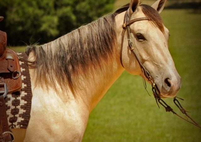 019-Dante-Buckskin-Quarter-Horse-Geldin-For-Sale