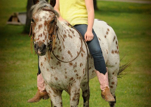 019-Shy-appaloosa-pony-for-sale