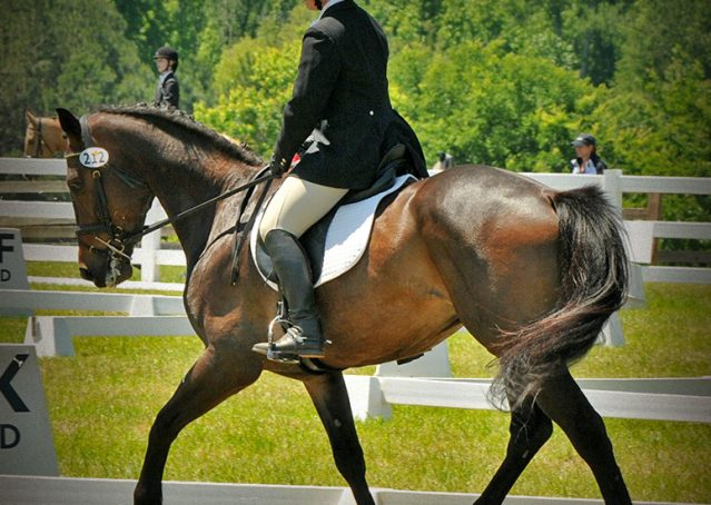 020-Beijing-dutch-warmblood-for-sale