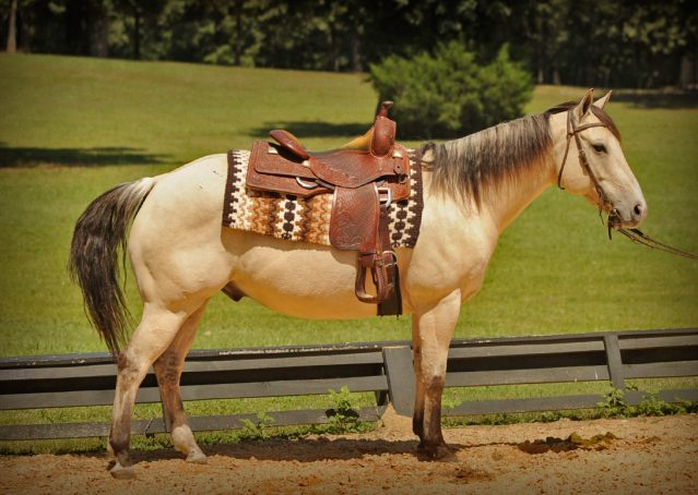 020-Dante-Buckskin-Quarter-Horse-Geldin-For-Sale