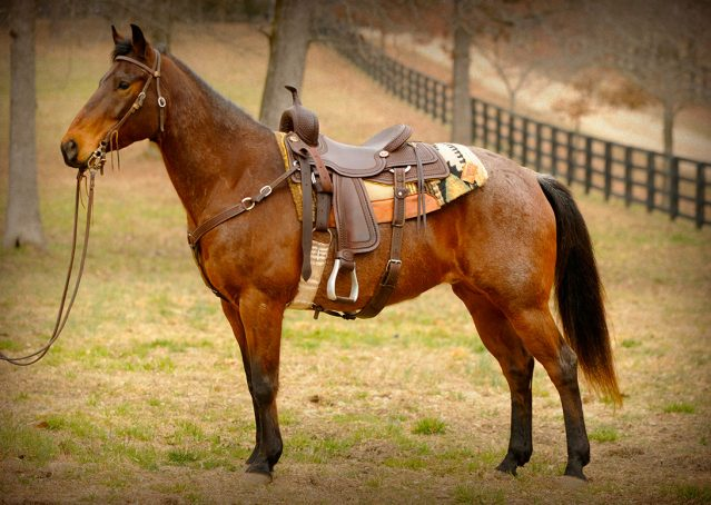020-Hue-APHA-Bay-Roan-Gelding-For-Sale