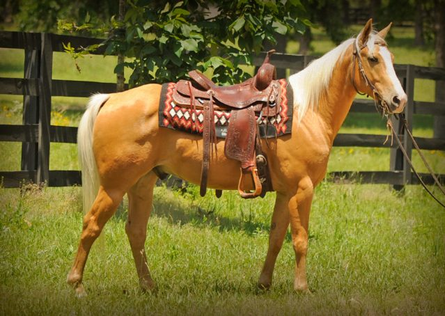 020-Peaches-Palomino-AQHA-Gelding-For-Sale