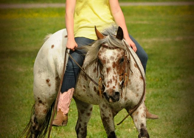020-Shy-appaloosa-pony-for-sale