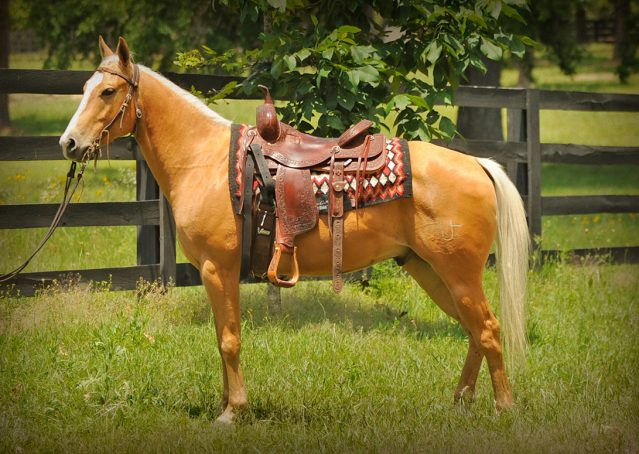 021-Peaches-Palomino-AQHA-Gelding-For-Sale