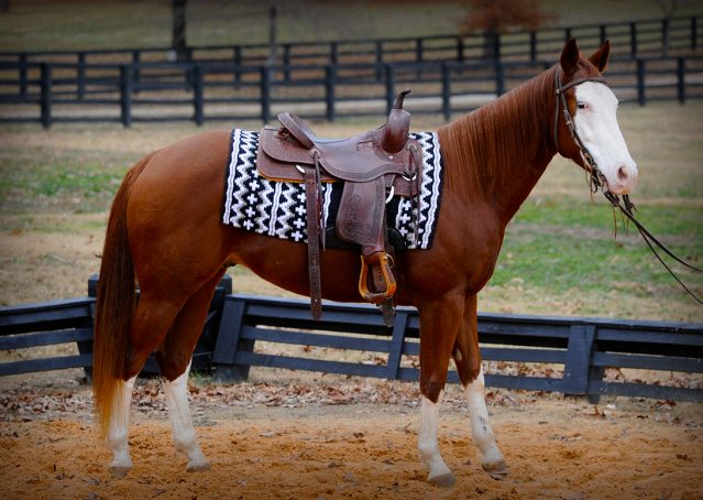 023-Indie-Sorrel-AQHA-reining-horse-for-sale