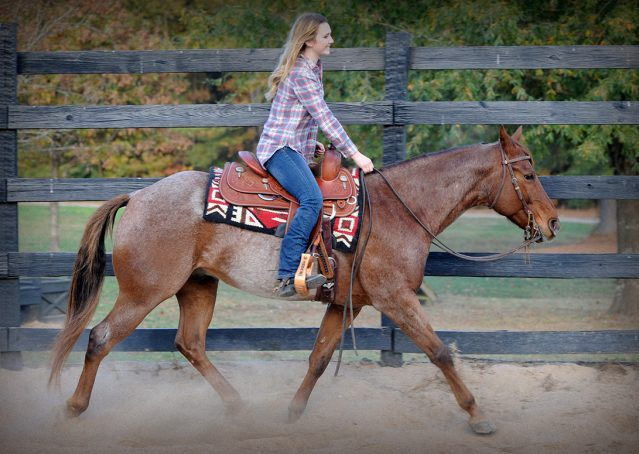 023-Jack-Frost-AQHA-Red-Roan-Gelding-For-Sale