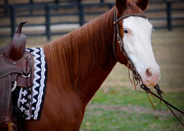 024-Indie-Sorrel-AQHA-reining-horse-for-sale