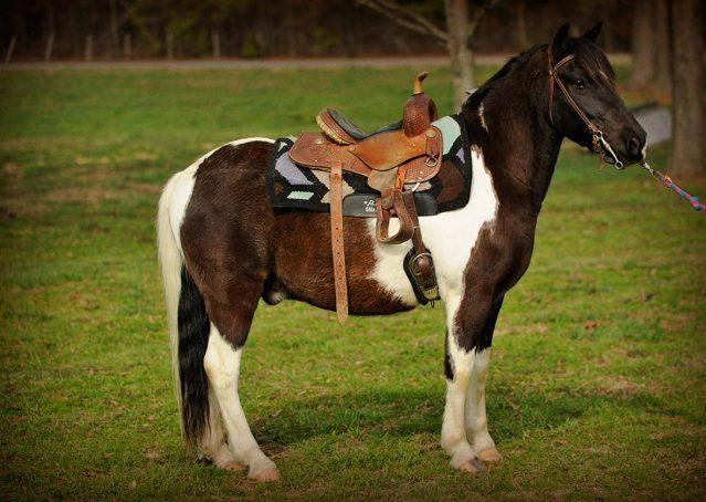 025-Rocky-paint-pony-gelding-for-sale