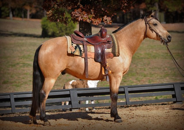 026-Hotrod-AQHA-Buckskin-Gleding-For-Sale