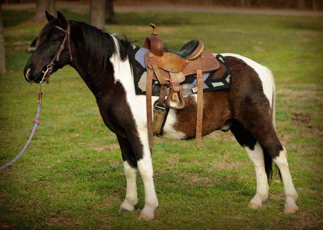 026-Rocky-paint-pony-gelding-for-sale