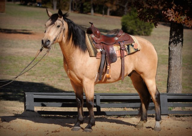 028-Hotrod-AQHA-Buckskin-Gleding-For-Sale