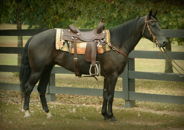 029-Hollywood-AQHA-gelding-for-sale