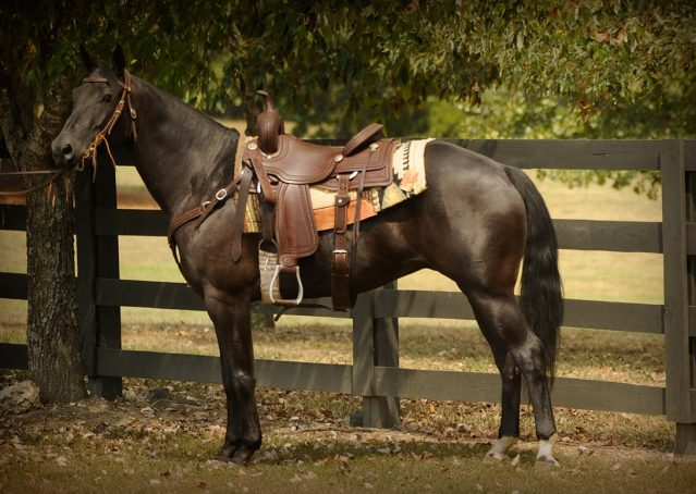 031-Hollywood-AQHA-gelding-for-sale