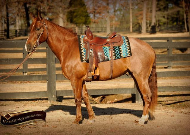 001-Coyote-Red-Roan-Gelding-For-Sale