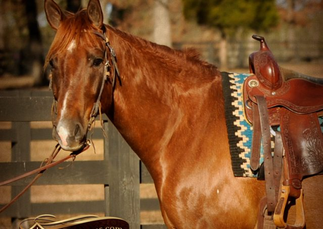 002-Coyote-Red-Roan-Gelding-For-Sale