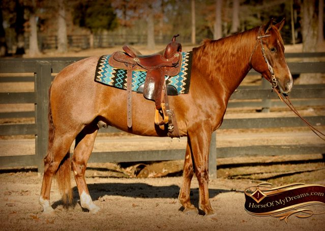 003-Coyote-Red-Roan-Gelding-For-Sale