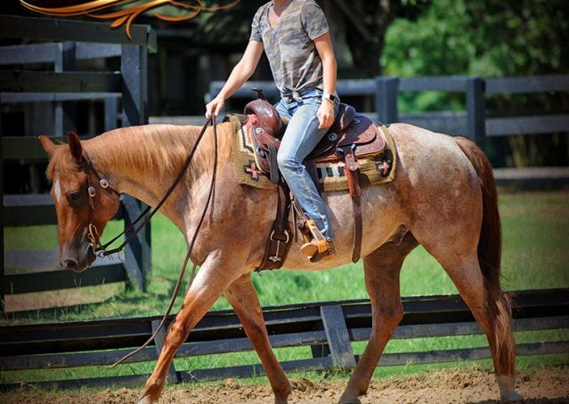 023-Pep-Red-Roan-AQHA-Gelding-For-Sale