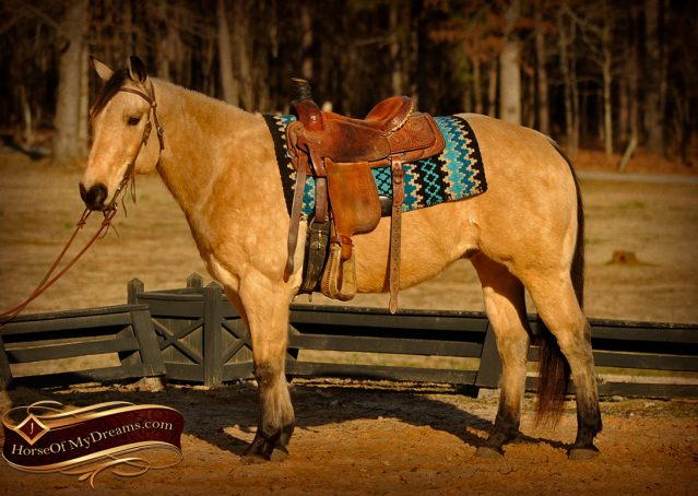 001-Cash-Buckskin-AQHA-Gelding-For-Sale
