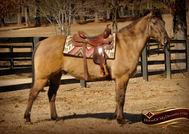 001-Dusty-Grulla-Quarter-Horse-Gelding-For-Sale