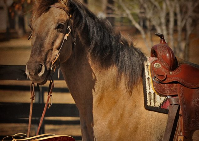 002-Dusty-Grulla-Quarter-Horse-Gelding-For-Sale