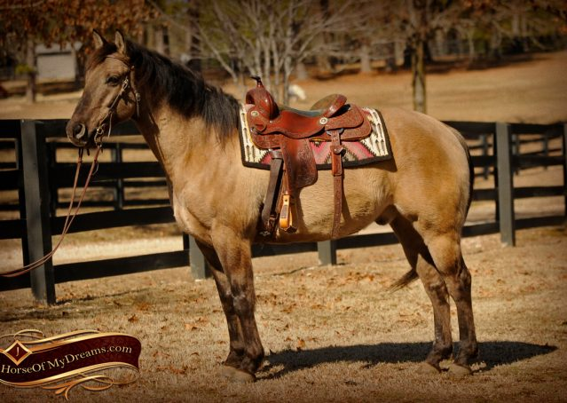 003-Dusty-Grulla-Quarter-Horse-Gelding-For-Sale