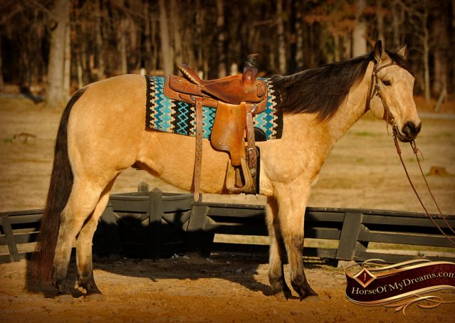 004-Cash-Buckskin-AQHA-Gelding-For-Sale