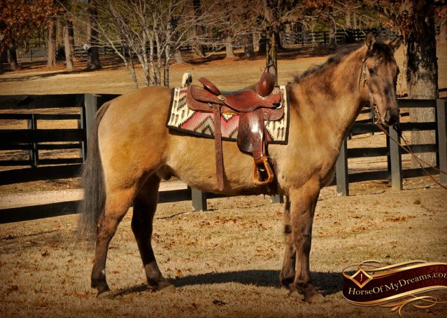 004-Dusty-Grulla-Quarter-Horse-Gelding-For-Sale