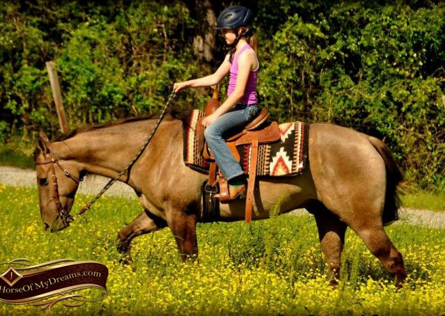 005-Dusty-Grulla-Quarter-Horse-Gelding-For-Sale