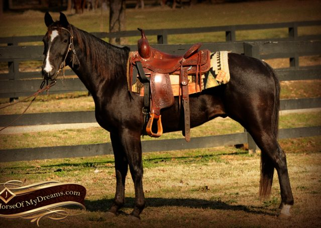 001-Coal-Black-Quarter-horse-gelding-for-sale