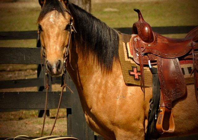 001-Native-Buckskin-AQHA-Gelding-For-Sale