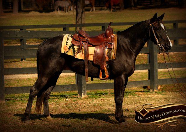 002-Coal-Black-Quarter-horse-gelding-for-sale