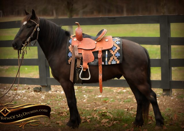 002-Dash-Black-Pony-Gelding-For-Sale