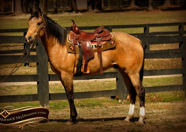 002-Native-Buckskin-AQHA-Gelding-For-Sale
