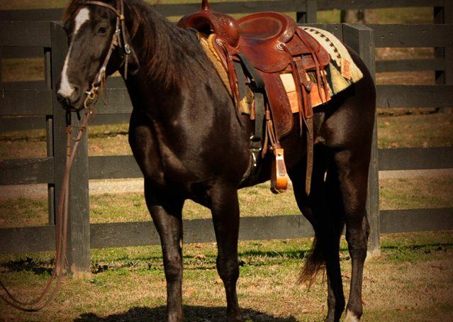 003-Coal-Black-Quarter-horse-gelding-for-sale