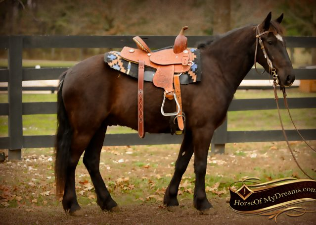 003-Dash-Black-Pony-Gelding-For-Sale