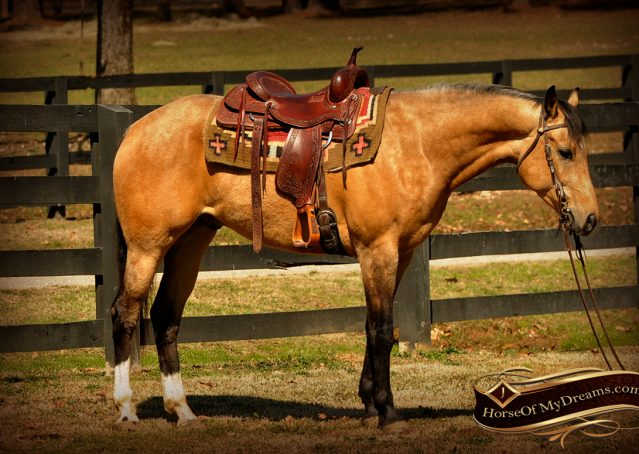 004-Native-Buckskin-AQHA-Gelding-For-Sale